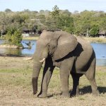 Elephant with Chitwa Chitwa lodge behind
