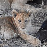 Young cub with wildebeest kill