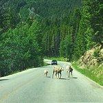 Mountain goats!