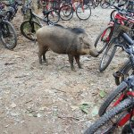 wild boar trying to knock down bicycles