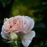 une rose André Le Notre au jardin de la verriére