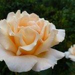 en juillet roses à la verrière