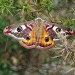 Local Wildlife - Emperor Moth