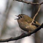 Local Wildlife - Goldcrest