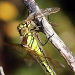 Local Wildlife - Hairy Dragonfly