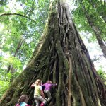 The kids loved climbing this strangler fig tree!