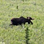 Moose near a trail