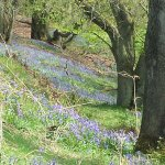 some of the beautiful bluebells