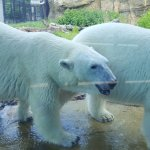 Up close with the polar bears