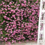 The front of the hotel was smothered in pink geraniums The gardens were really lovely and well k