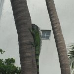 Godzilla the iguana