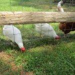 Friendly Chickens