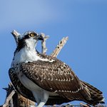 Immature osprey perched on nest