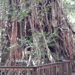 Massive fig tree