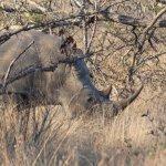 This rhino was having breakfast.