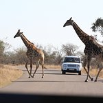 Giraffe herd moving to the other side of the road
