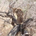Spotted our leopard close enough to pounce on us. Scary!