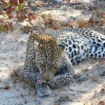 Leopard. Amazing animal in the wild.