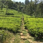 Thoroughly enjoyed a tour of Bluefield Tea Gardens' factory, and the gorgeous plantations.