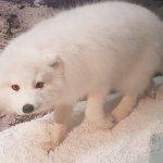 Lil white fox