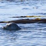 A Harbor Seal swimming in bull kelp