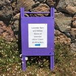 Lavender heaven at Matanzas Creek Winery
