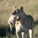 Lioness with baby in Serengeti. Game drive from Lemala Ewanjan.