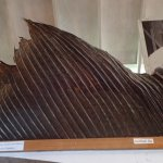 sailfish fin