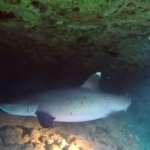 White tip shark encounter
