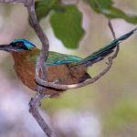 A Trinidad Motmot from the grounds of the Inn