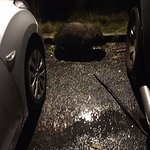 Wombat in the parking lot