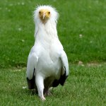 Egyptian griffon vulture that thinks it's a human ...