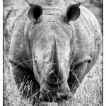 Up close and personal! White Rhino in Hluhluwe-Imfolozi