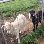 The friendliest of goats Nala and Cecelia <3