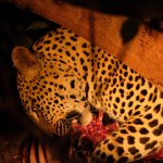 Leopard dining