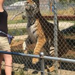 Tiger, healthy and older than would be if left in the wild