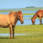 Wild Horses standing in salt water