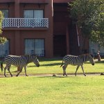 Zebras strolling on the hotel grounds