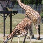 baby giraffe liked the grass