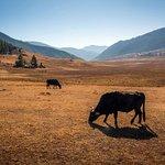 Grazing cows at Phobjikha valley