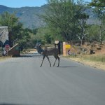 Just outside the entry gate, Kudu's cross the road!
