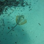 Sting Ray on the House Reef