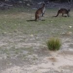 These are two of the kangaroos we saw. If you look closely you will see a Joey
