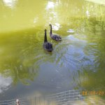 Black swans in park