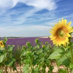 We stopped off at 2 different lavender fields, one had sunflowers too!