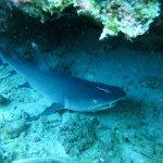 white-tip reef shark under rocks