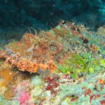 well-camouflaged scorpion fish all around