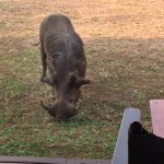 A friendly warthog came to visit