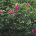 Room 4 privacy rose hedge - very pretty