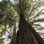 Just one of the many magnificent trees at Pfeiffer Big Sur